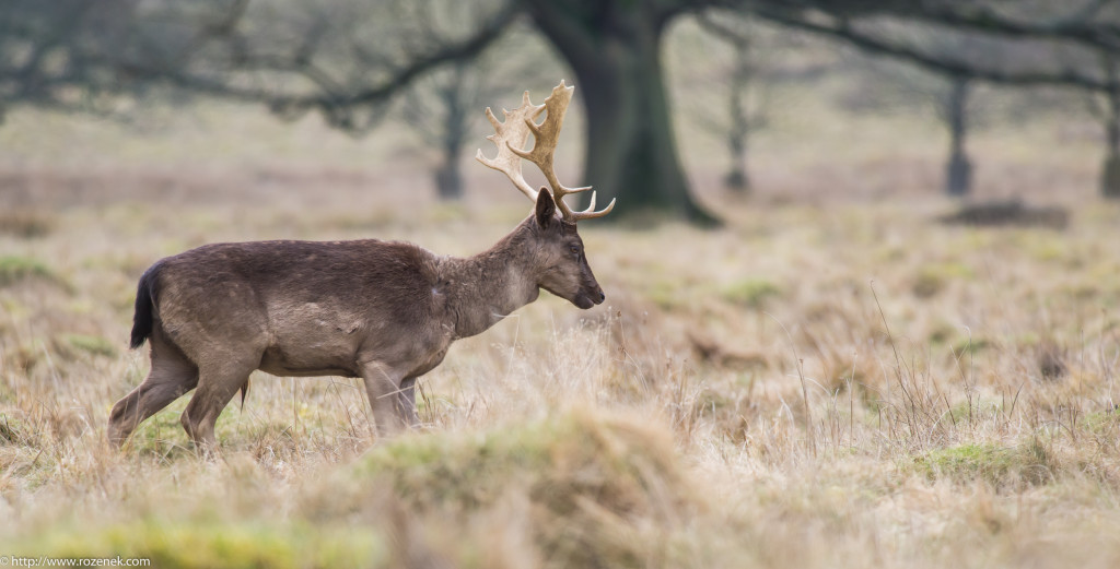 2015.03.21 - Petworth Park (Deers) - 19