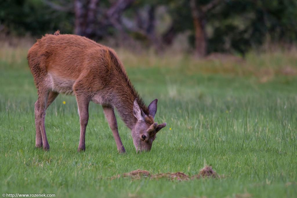 2013.08.30 - Glenfinnan Deers - 31