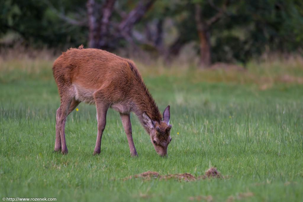 2013.08.30 - Glenfinnan Deers - 33