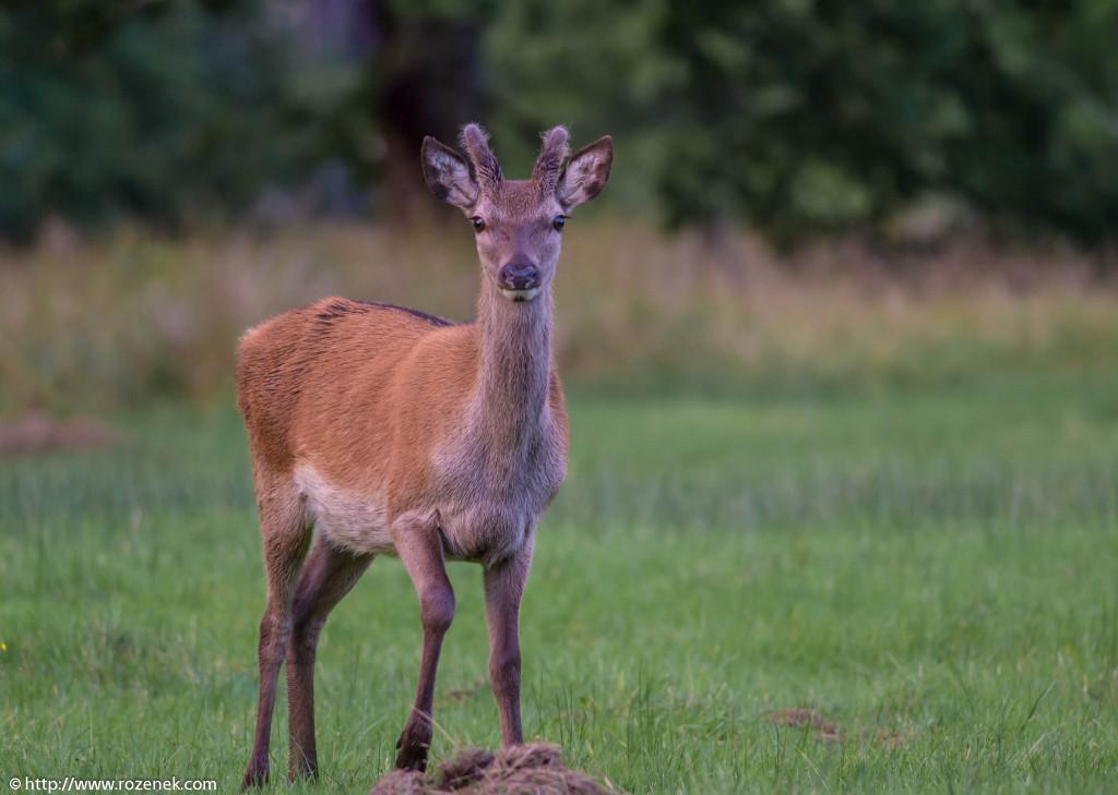 2013.08.30 - Glenfinnan Deers - 38