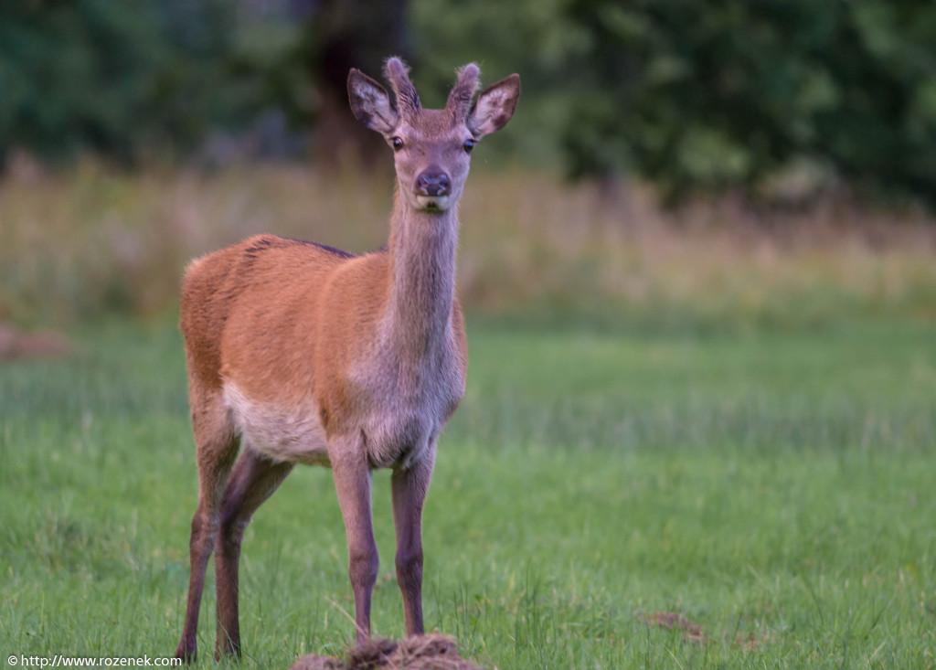 2013.08.30 - Glenfinnan Deers - 39