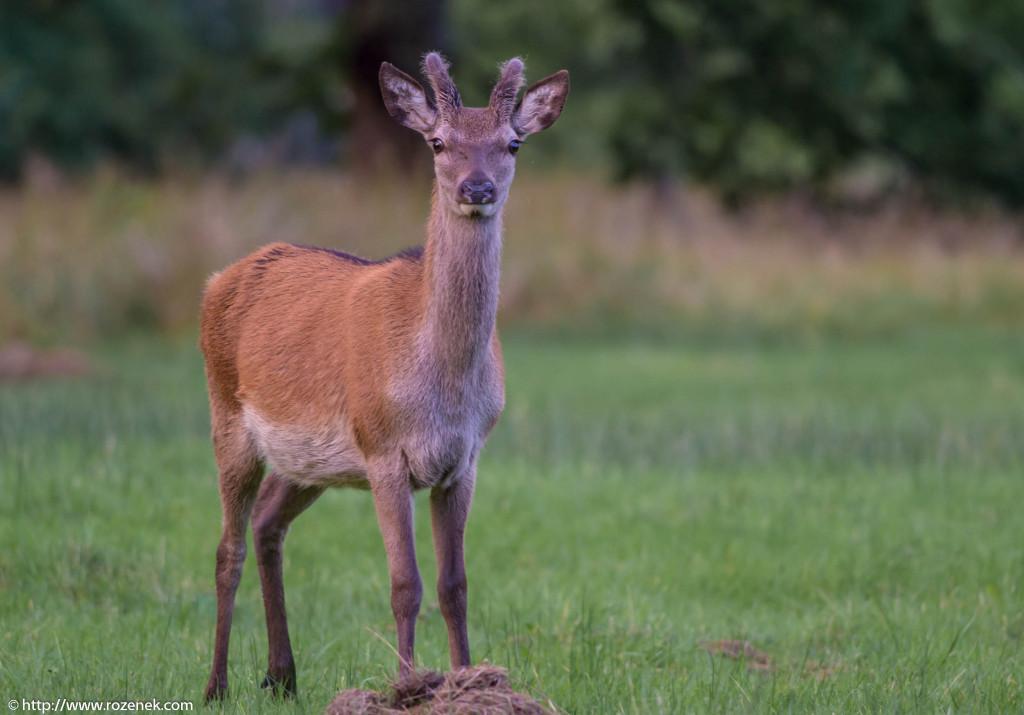 2013.08.30 - Glenfinnan Deers - 40