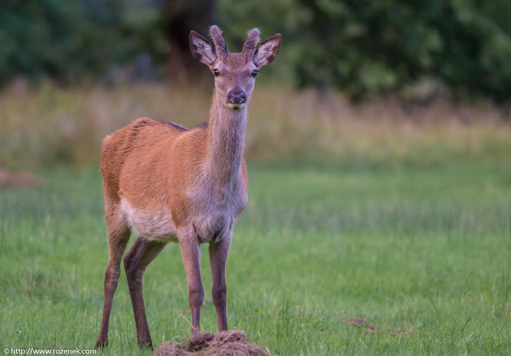 2013.08.30 - Glenfinnan Deers - 42