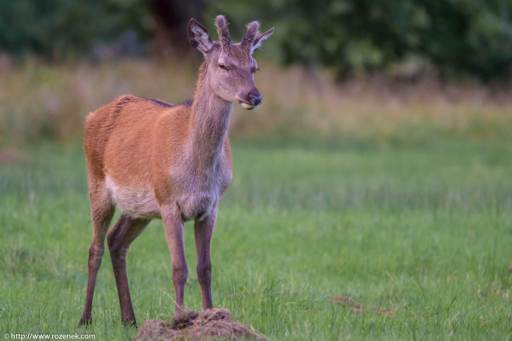 2013.08.30 - Glenfinnan Deers - 43