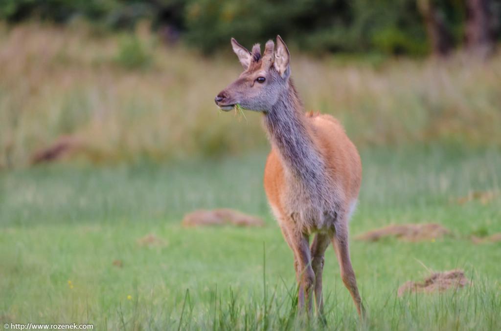 2013.08.30 - Glenfinnan Deers - 50