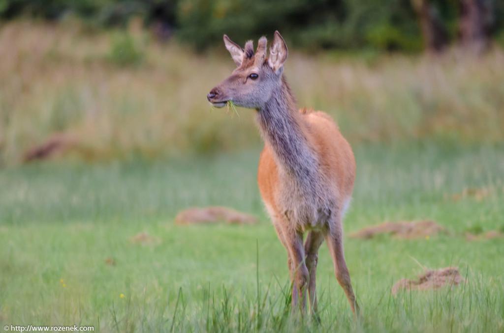 2013.08.30 - Glenfinnan Deers - 51