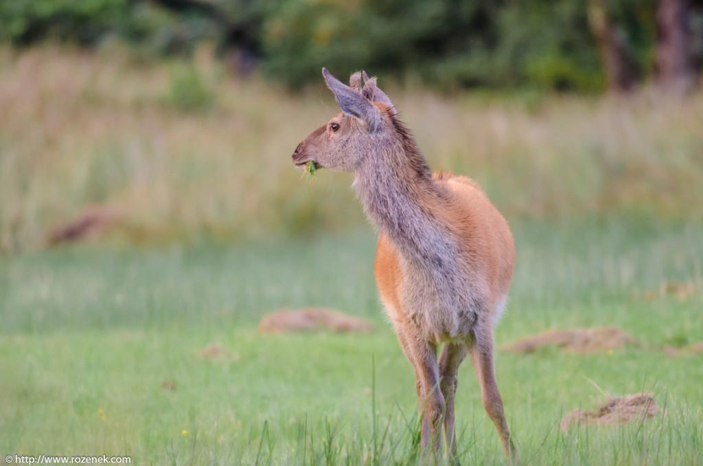 2013.08.30 - Glenfinnan Deers - 52