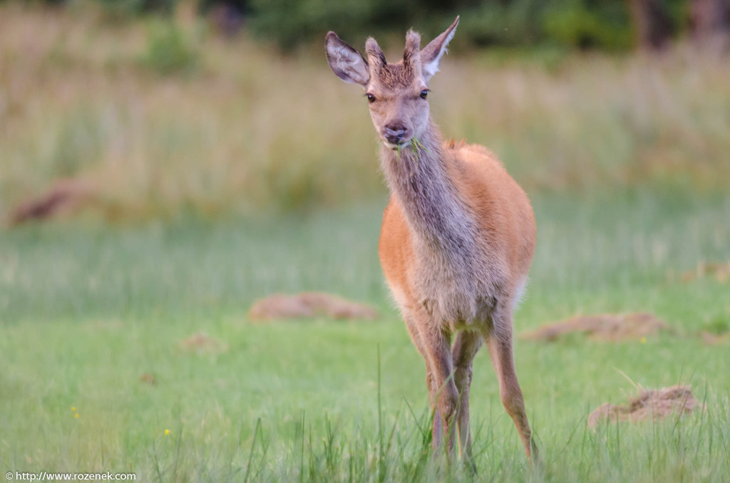 2013.08.30 - Glenfinnan Deers - 53