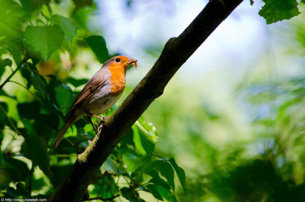 2012.06.02 - Marriotts Way in Norwich - Birds - 05