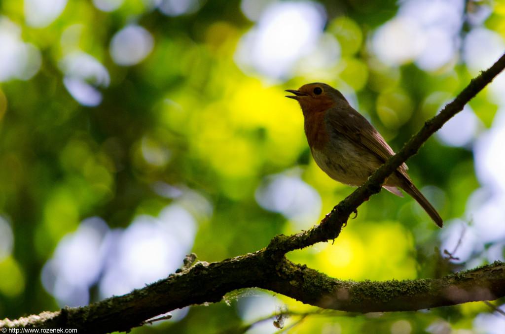 2012.06.02 - Marriotts Way in Norwich - Birds - 08