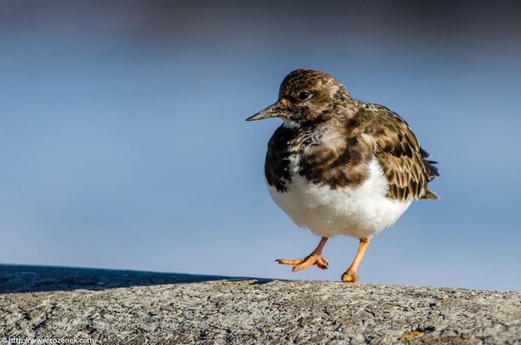 2013.04.20 - Birds in Cromer - 40