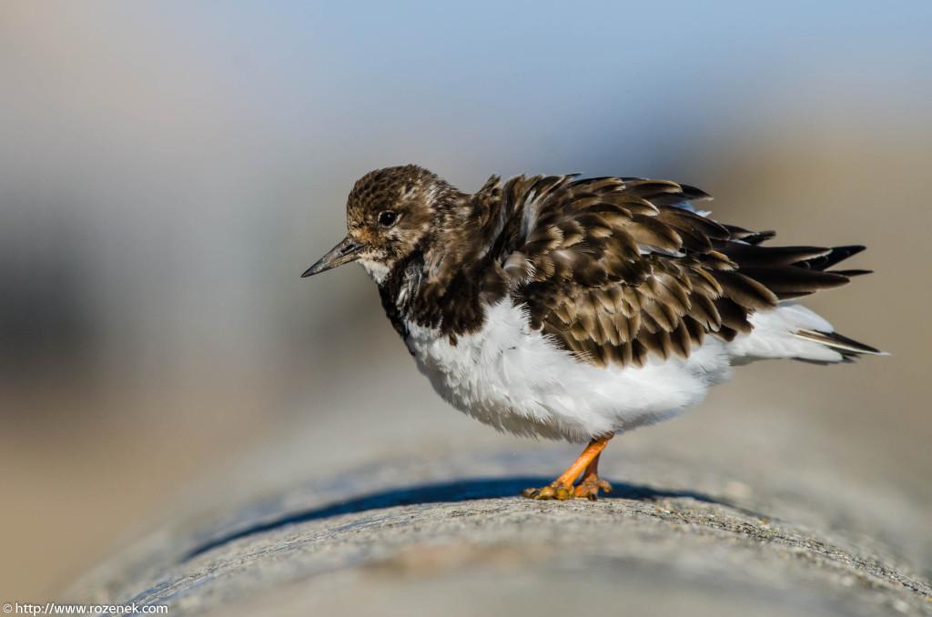 2013.04.20 - Birds in Cromer - 43