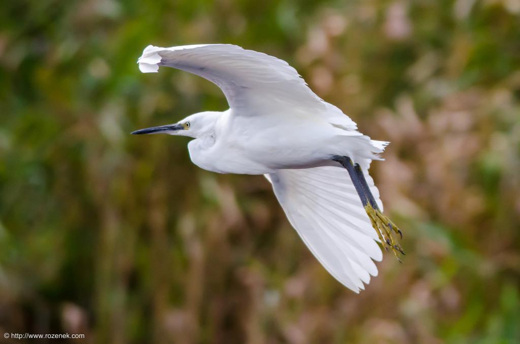 2014.08.30 - Little Egret - 02