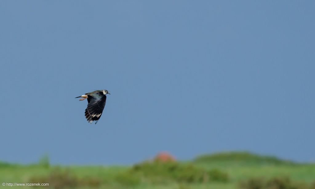20140615 - 05 - bird photography, northern lapwing