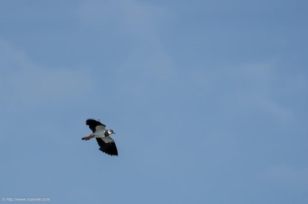 20140615 - 06 - bird photography, northern lapwing