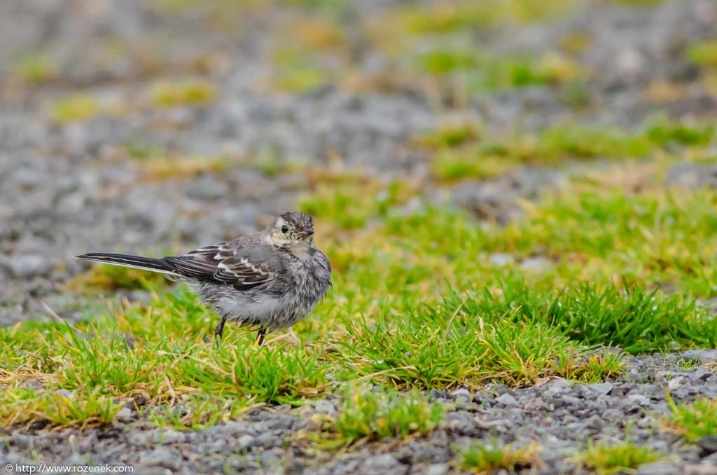 2013.08.29 - Isle of Skye Birds - 10