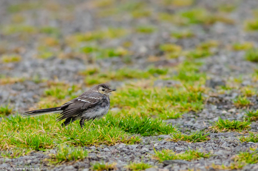 2013.08.29 - Isle of Skye Birds - 11