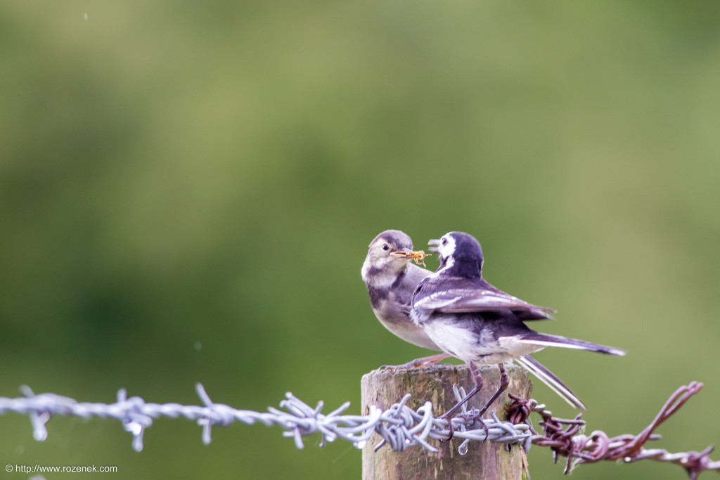 2014.07.19 - White Wagtail - 04