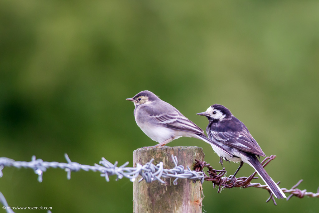 2014.07.19 - White Wagtail - 10
