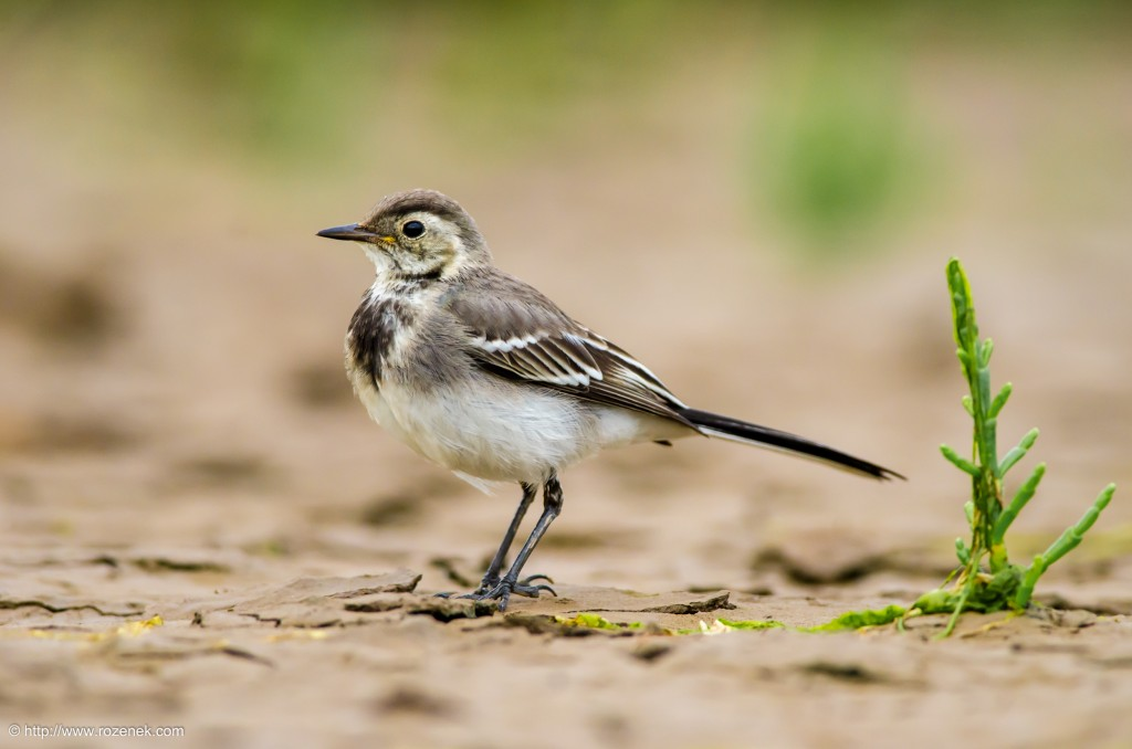 20140622 - 92 - bird photography, White Wagtail