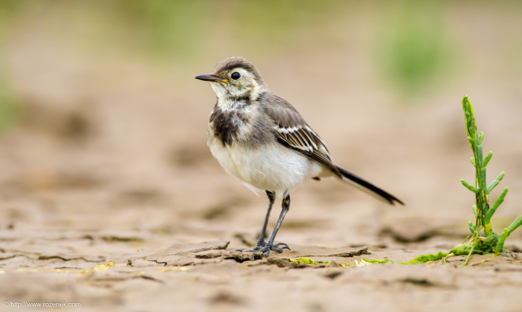 20140622 - 93 - bird photography, White Wagtail