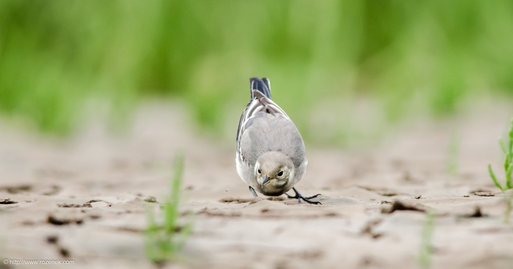 20140622 - 94 - bird photography, White Wagtail