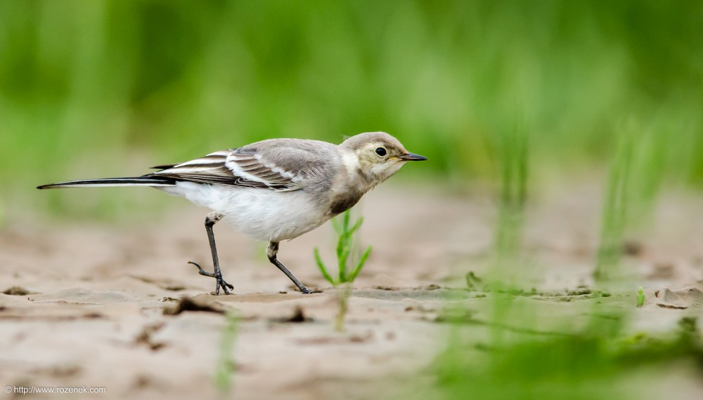 20140622 - 95 - bird photography, White Wagtail