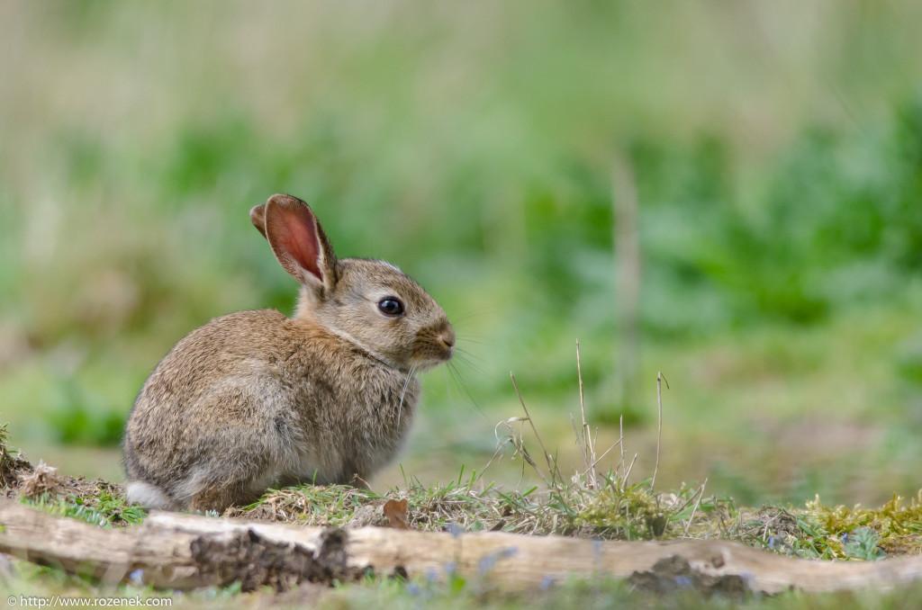 2914.04.27 - Rabbits - 01