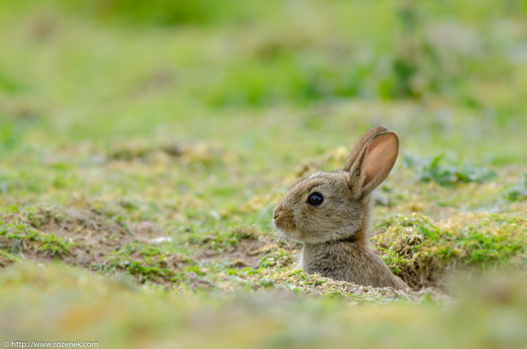 2914.04.27 - Rabbits - 02