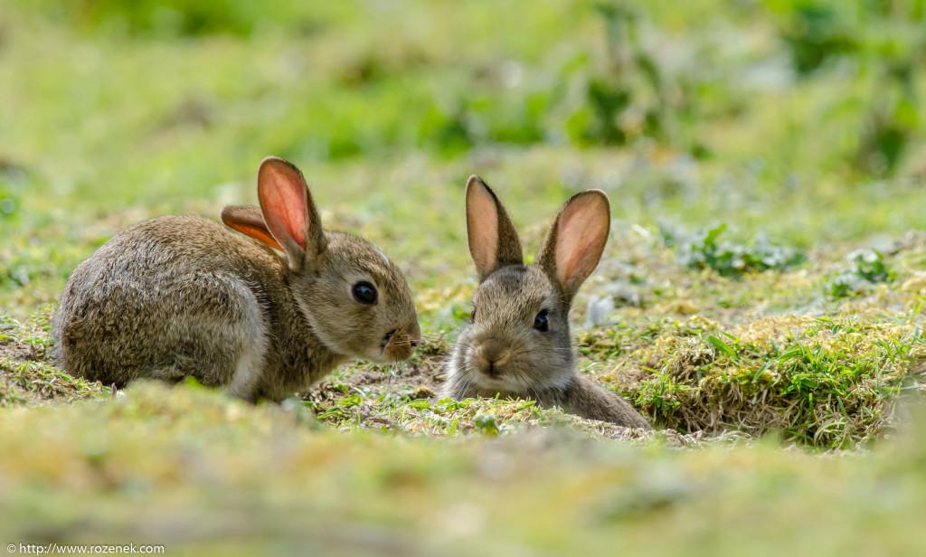 2914.04.27 - Rabbits - 06