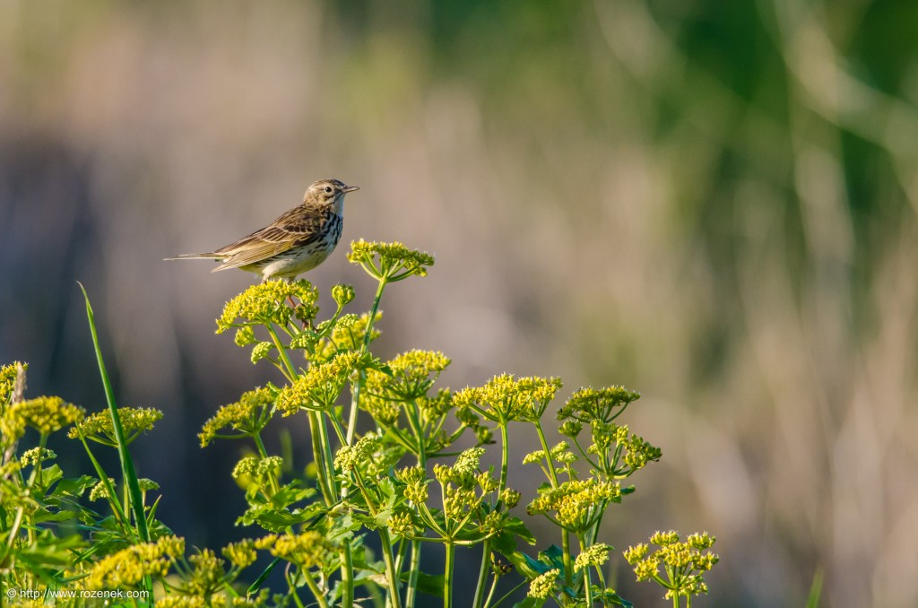 2013.06.02 - Meadow Pipit - 03