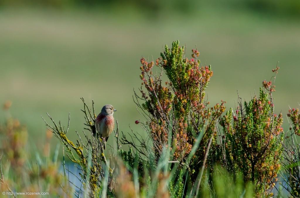 20140615 - 01 - bird photography, linnet