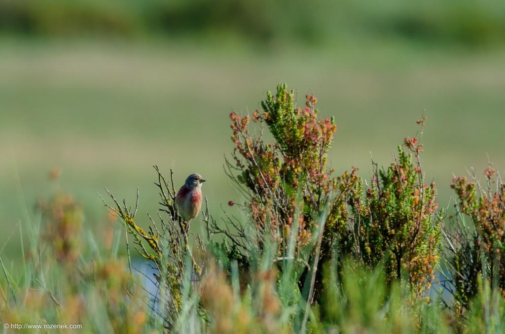 20140615 - 02 - bird photography, linnet