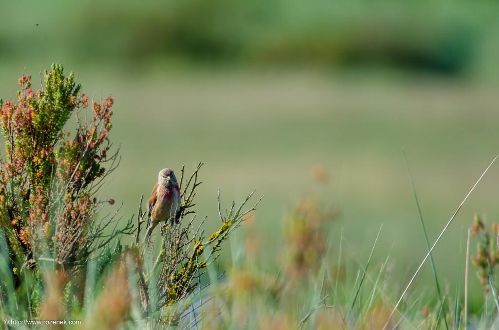 20140615 - 03 - bird photography, linnet