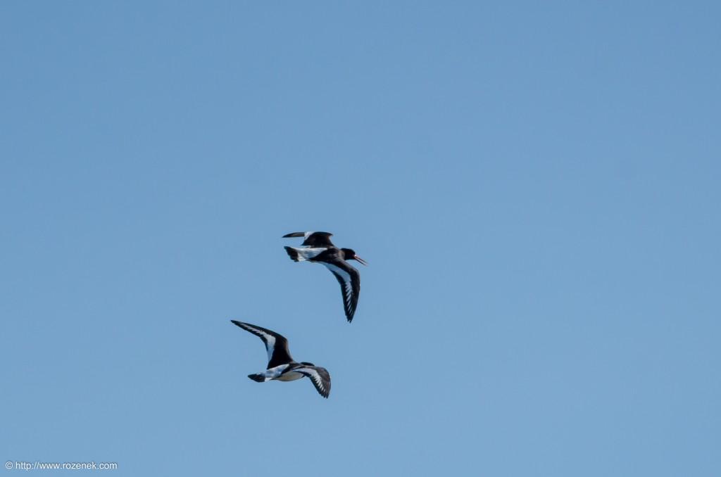 20140615 - 08 - bird photography, oystercatcher