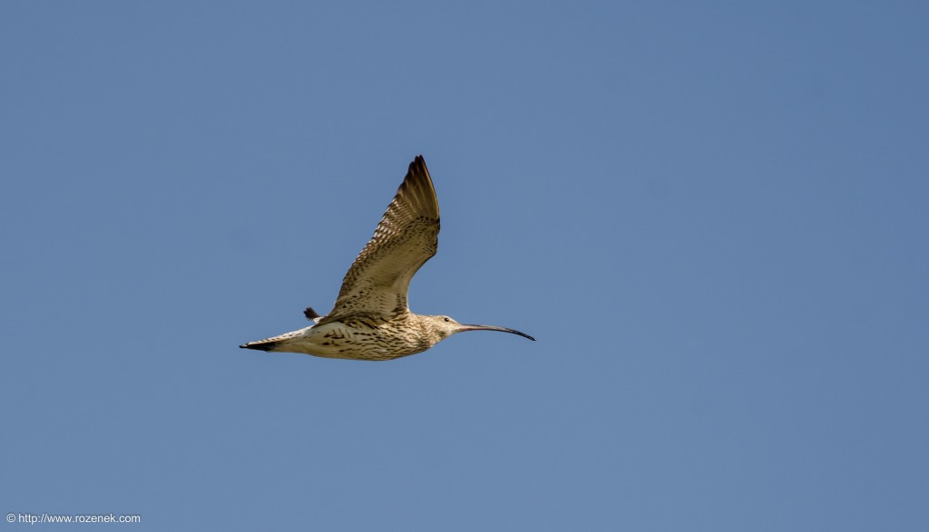 20140615 - 10 - bird photography, curlew