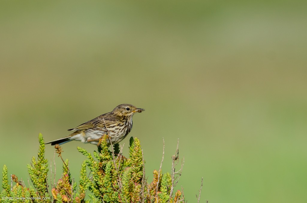 20140615 - 18 - bird photography, meadow pipit