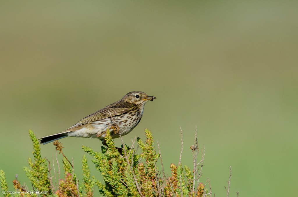 20140615 - 19 - bird photography, meadow pipit