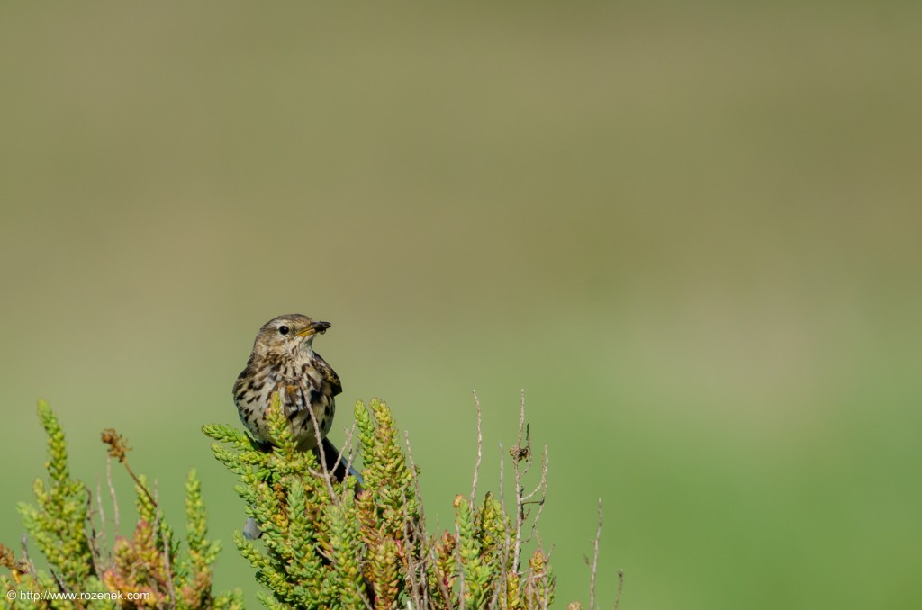 20140615 - 20 - bird photography, meadow pipit
