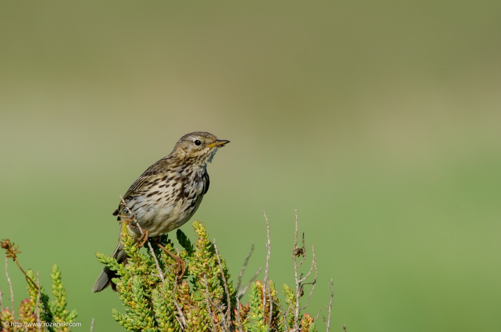 20140615 - 23 - bird photography, meadow pipit