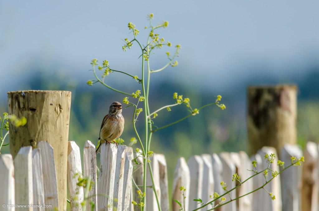 20140615 - 24 - bird photography, linnet