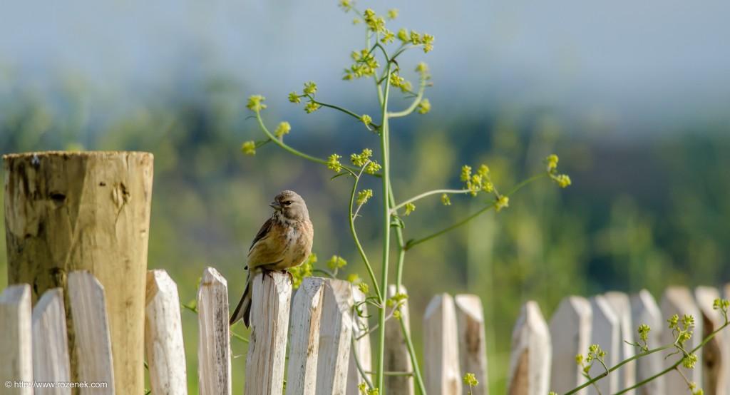 20140615 - 25 - bird photography, linnet