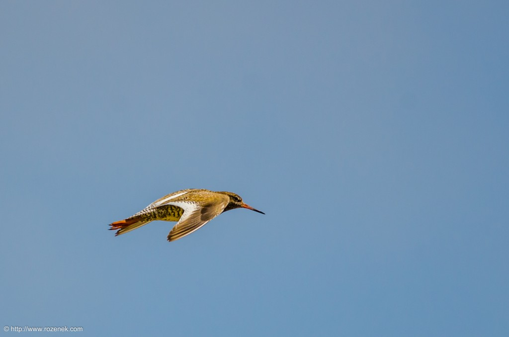 20140621 - 43 - bird photography, redshank