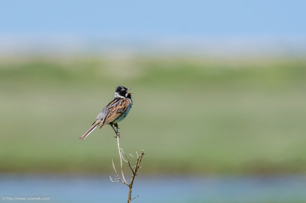 20140621 - 49 - bird photography, reed bunting - full