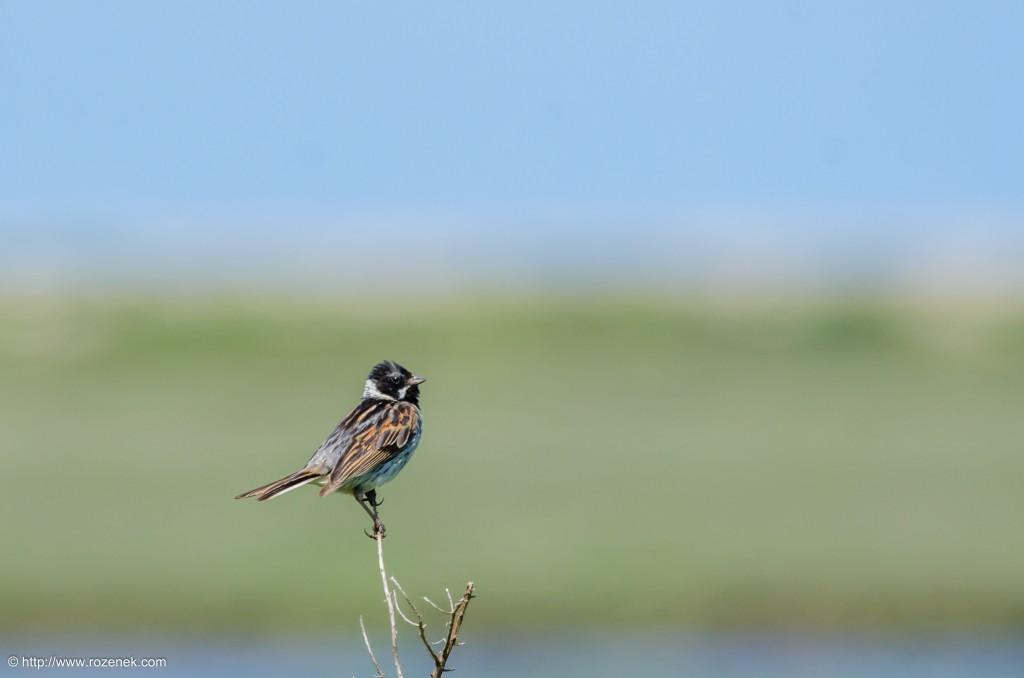 20140621 - 51 - bird photography, reed bunting - full