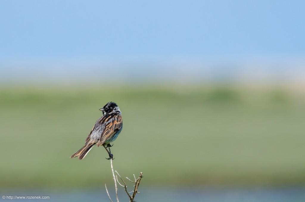 20140621 - 52 - bird photography, reed bunting - full
