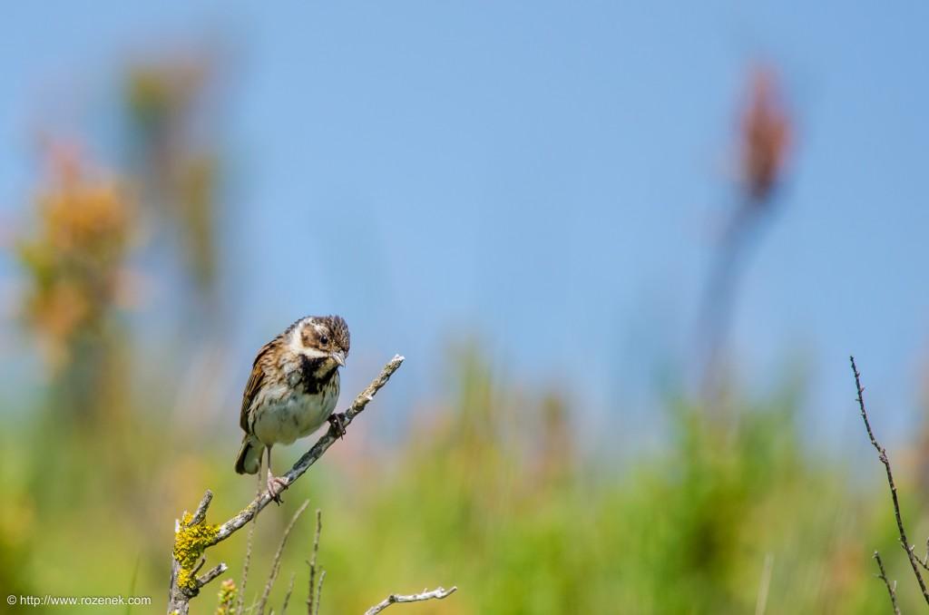 20140621 - 58 - bird photography, reed bunting