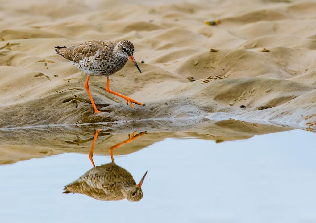 20140622 - 72 - bird photography, redshank