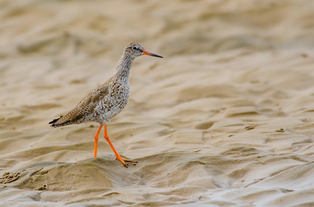 20140622 - 73 - bird photography, redshank