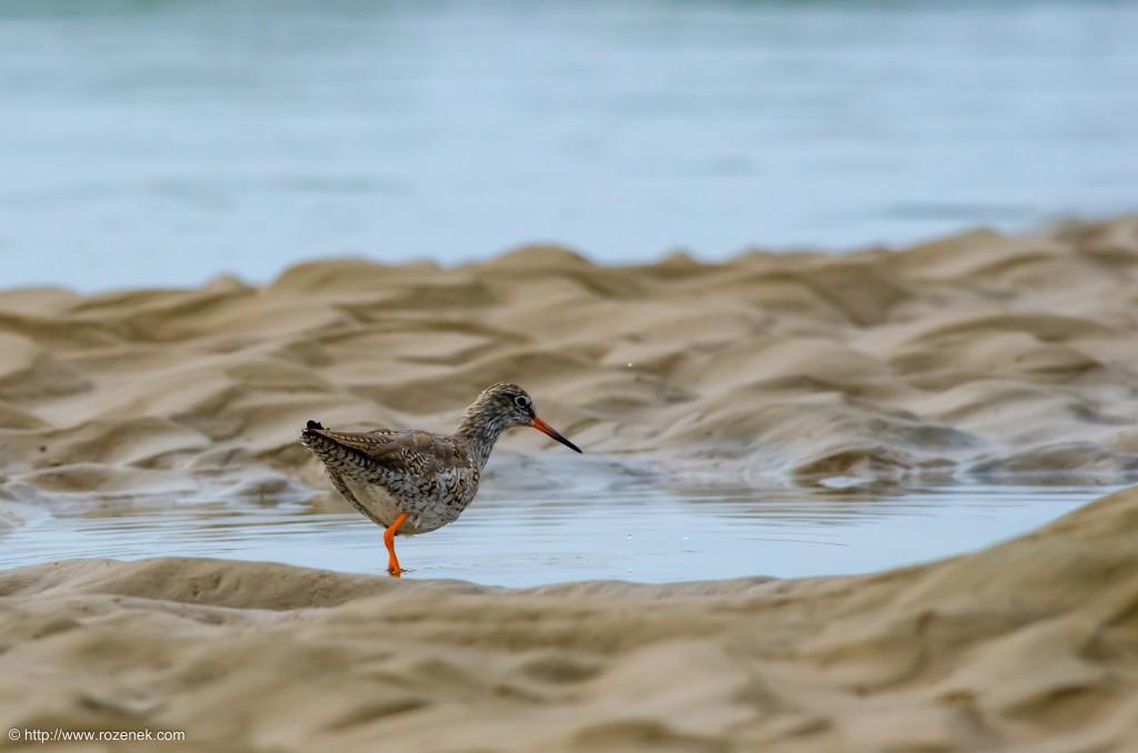 20140622 - 75 - bird photography, redshank